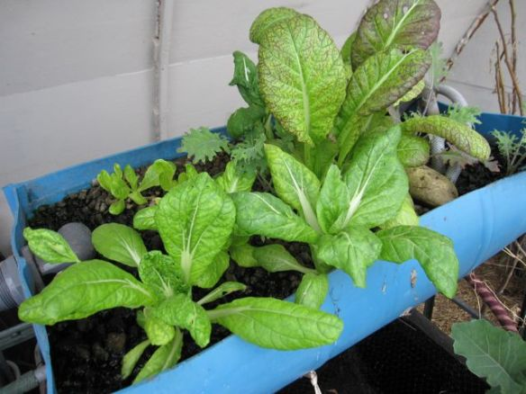 Aquaponics greens March 2014: kale, mustard,